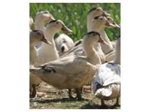 Fois gras Armand Pontvianne